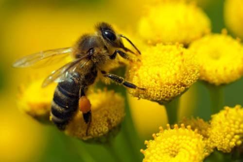 Un'ape si poggia su un fiore | Da Biolis - negozio biologico di Messina trovi il polline d'api