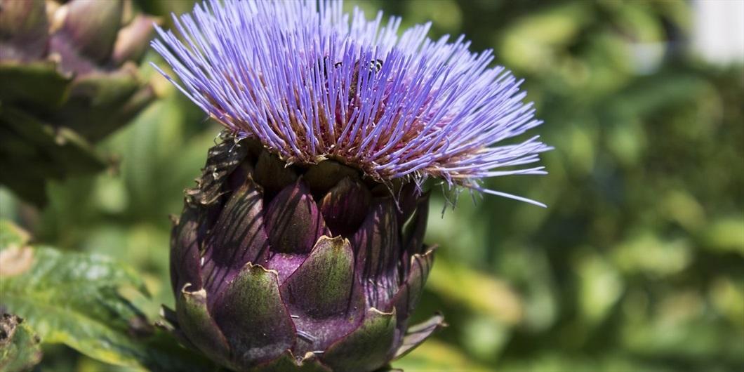 Il carciofo spiegato dal nutrizionista sul sito di Biolis - Carciofo in fiore